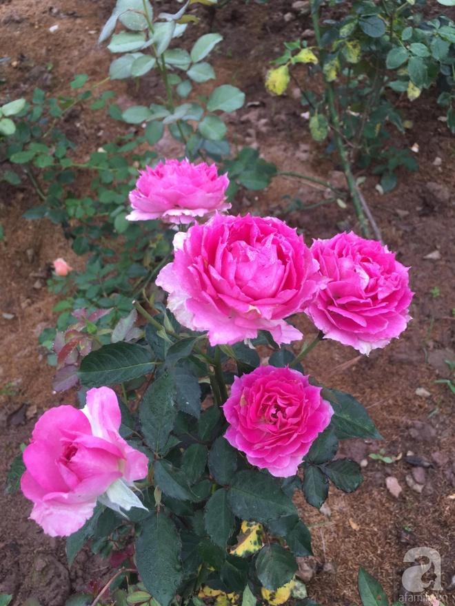 Ngôi nhà yên bình bên vườn hoa hồng với 3000 gốc hoa hồng ngoại của cô giáo ở Nam Định - Ảnh 19.