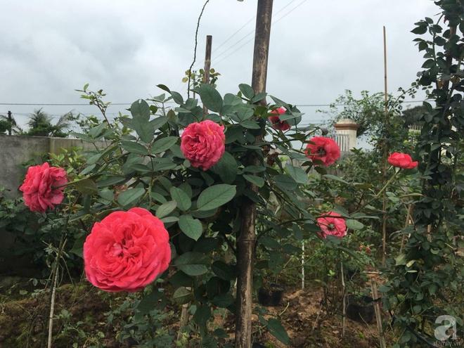 Ngôi nhà yên bình bên vườn hoa hồng với 3000 gốc hoa hồng ngoại của cô giáo ở Nam Định - Ảnh 20.