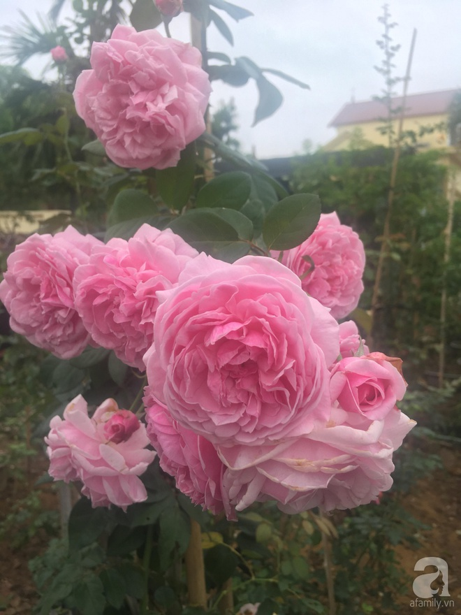 Ngôi nhà yên bình bên vườn hoa hồng với 3000 gốc hoa hồng ngoại của cô giáo ở Nam Định - Ảnh 22.