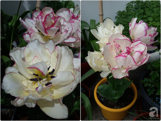 Ban công vỏn vẹn 6m² nhưng đẹp lung linh nhờ muôn sắc hoa do người vợ trẻ tự trồng - Ảnh 8.