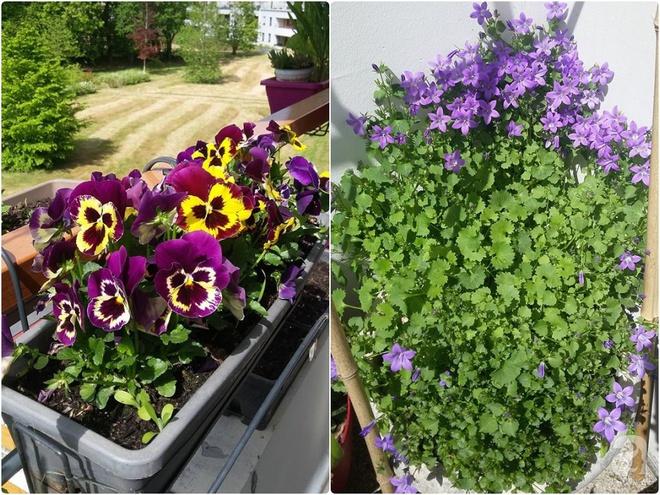 Ban công vỏn vẹn 6m² nhưng đẹp lung linh nhờ muôn sắc hoa do người vợ trẻ tự trồng - Ảnh 9.