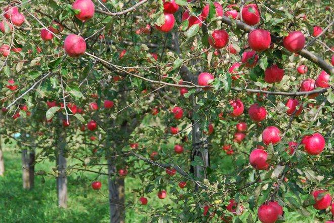 Vườn táo đẹp như cổ tích của cụ ông người Nhật dành tâm huyết suốt 11 năm chăm sóc - Ảnh 7.