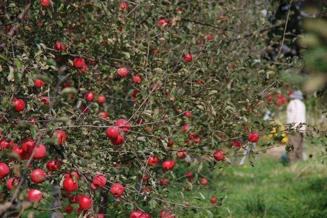 Vườn táo đẹp như cổ tích của cụ ông người Nhật dành tâm huyết suốt 11 năm chăm sóc - Ảnh 9.