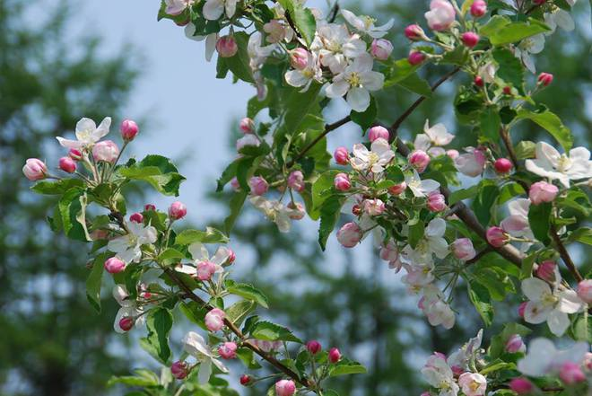 Vườn táo đẹp như cổ tích của cụ ông người Nhật dành tâm huyết suốt 11 năm chăm sóc - Ảnh 10.