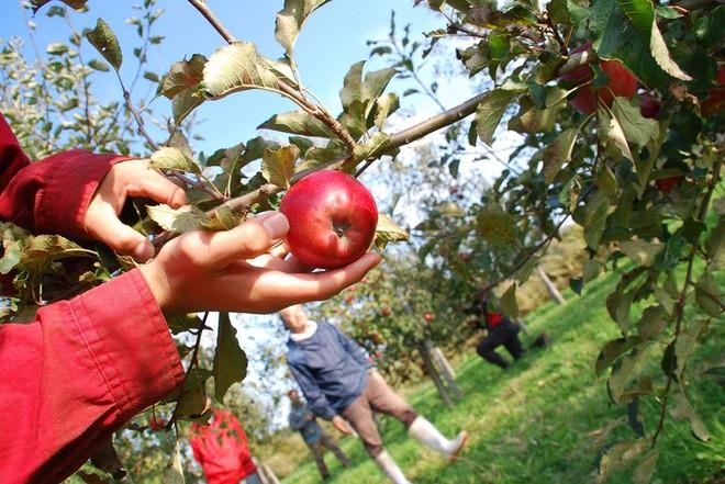 Vườn táo đẹp như cổ tích của cụ ông người Nhật dành tâm huyết suốt 11 năm chăm sóc - Ảnh 12.