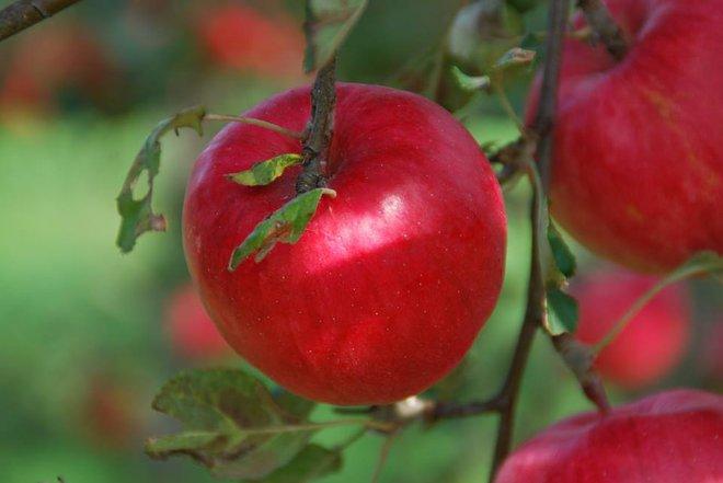 Vườn táo đẹp như cổ tích của cụ ông người Nhật dành tâm huyết suốt 11 năm chăm sóc - Ảnh 13.