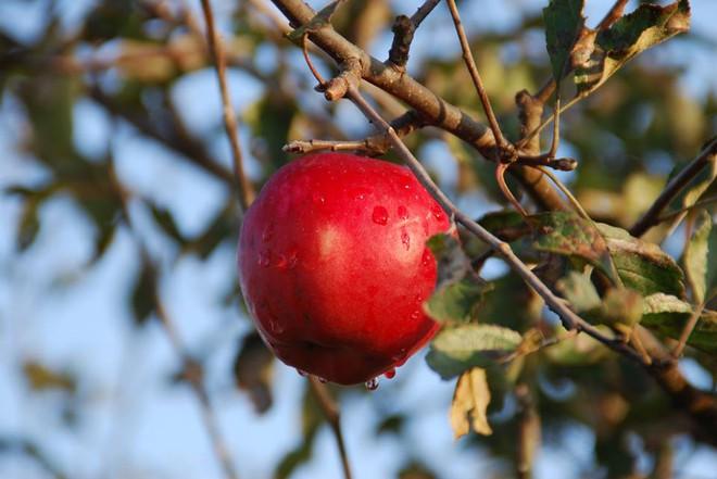 Vườn táo đẹp như cổ tích của cụ ông người Nhật dành tâm huyết suốt 11 năm chăm sóc - Ảnh 16.