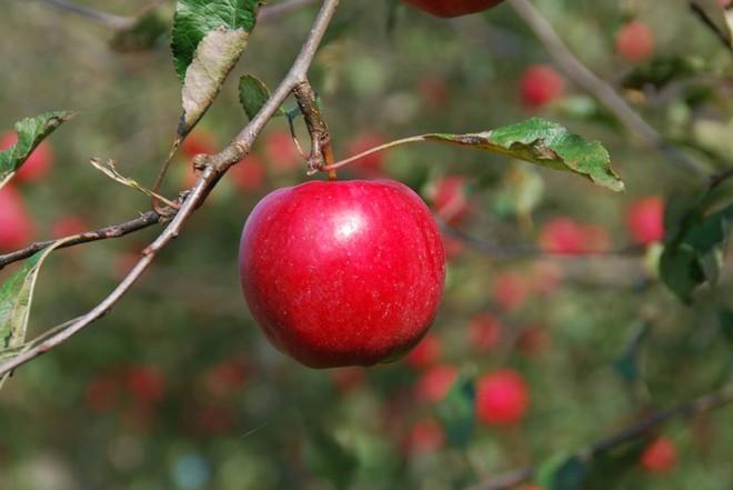 Vườn táo đẹp như cổ tích của cụ ông người Nhật dành tâm huyết suốt 11 năm chăm sóc - Ảnh 18.