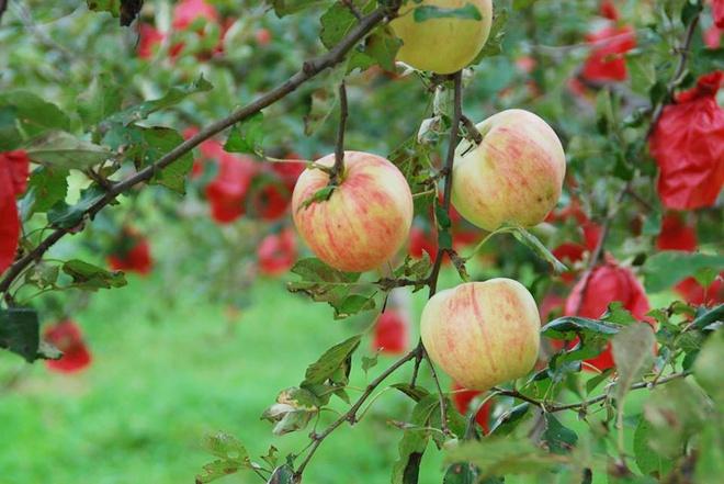 Vườn táo đẹp như cổ tích của cụ ông người Nhật dành tâm huyết suốt 11 năm chăm sóc - Ảnh 19.