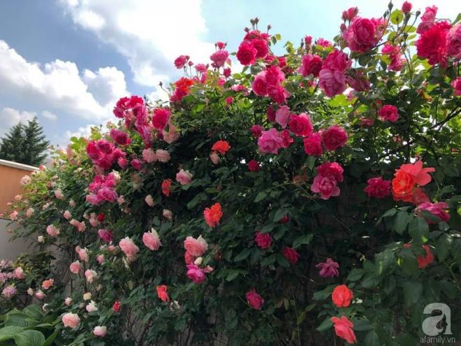 Khu vườn hoa hồng rộng 500m² với hàng trăm gốc hồng đẹp rực rỡ của người phụ nữ gốc Hà Thành - Ảnh 1.