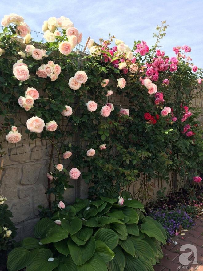 Khu vườn hoa hồng rộng 500m² với hàng trăm gốc hồng đẹp rực rỡ của người phụ nữ gốc Hà Thành - Ảnh 5.