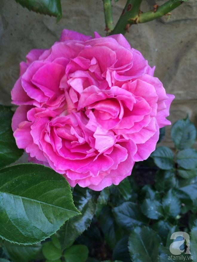 Khu vườn hoa hồng rộng 500m² với hàng trăm gốc hồng đẹp rực rỡ của người phụ nữ gốc Hà Thành - Ảnh 9.