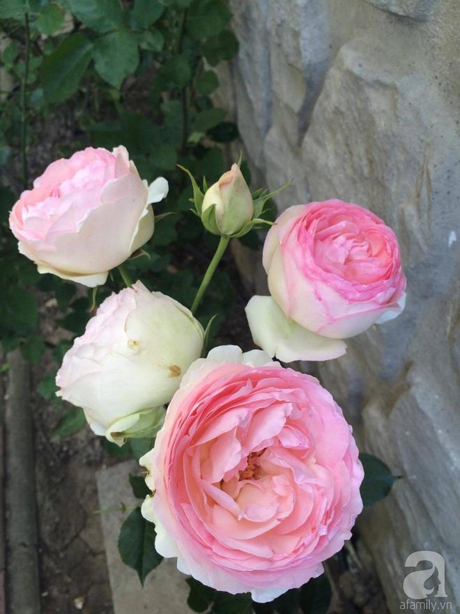 Khu vườn hoa hồng rộng 500m² với hàng trăm gốc hồng đẹp rực rỡ của người phụ nữ gốc Hà Thành - Ảnh 10.