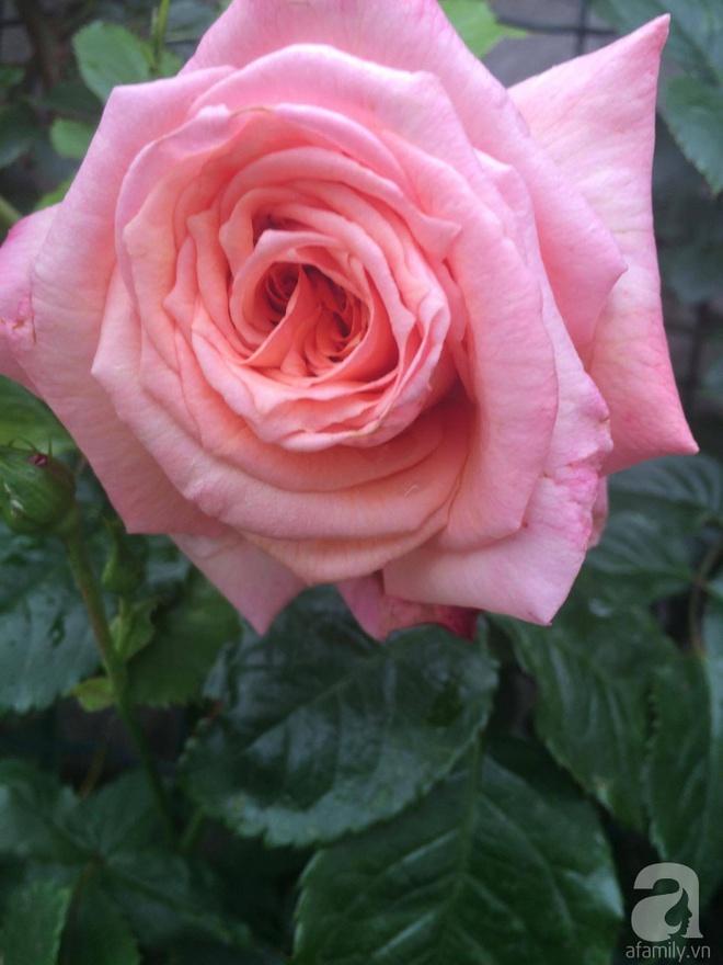 Khu vườn hoa hồng rộng 500m² với hàng trăm gốc hồng đẹp rực rỡ của người phụ nữ gốc Hà Thành - Ảnh 11.