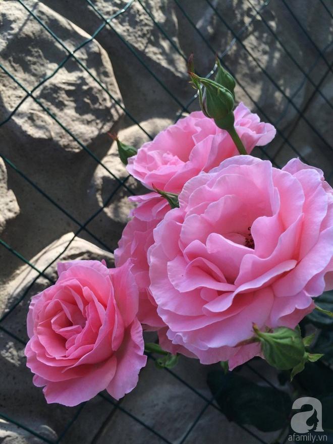 Khu vườn hoa hồng rộng 500m² với hàng trăm gốc hồng đẹp rực rỡ của người phụ nữ gốc Hà Thành - Ảnh 13.