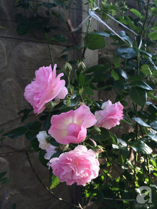 Khu vườn hoa hồng rộng 500m² với hàng trăm gốc hồng đẹp rực rỡ của người phụ nữ gốc Hà Thành - Ảnh 14.
