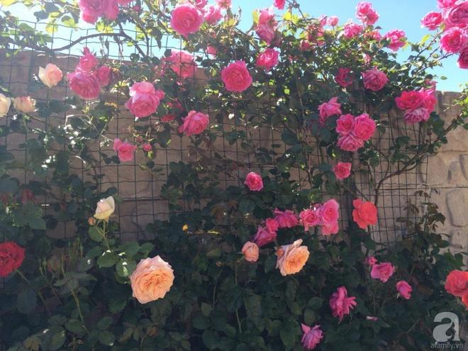 Khu vườn hoa hồng rộng 500m² với hàng trăm gốc hồng đẹp rực rỡ của người phụ nữ gốc Hà Thành - Ảnh 15.