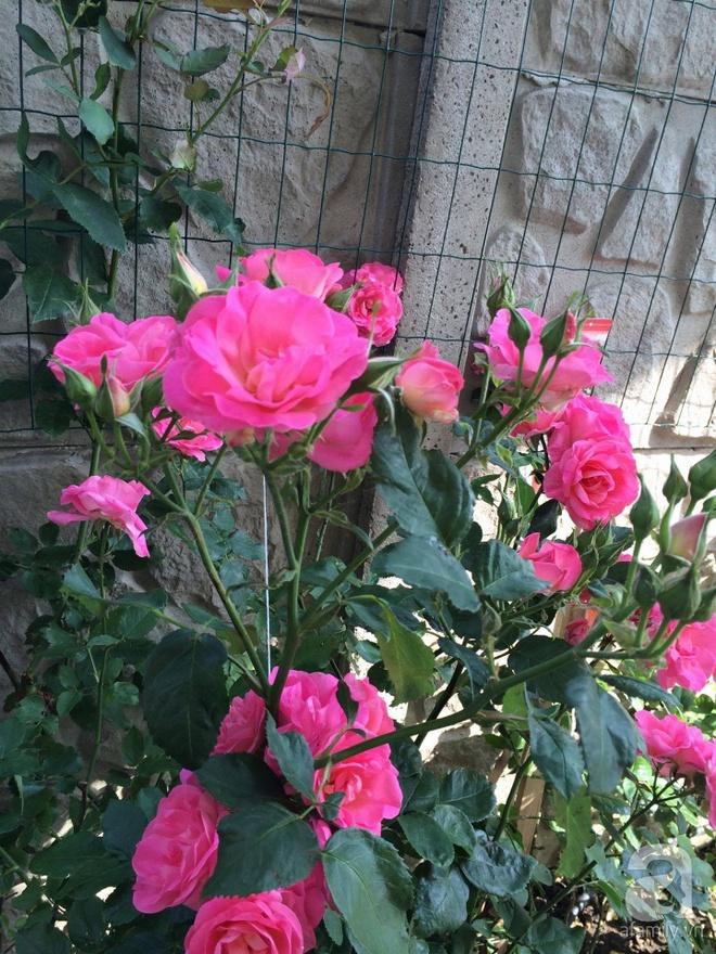 Khu vườn hoa hồng rộng 500m² với hàng trăm gốc hồng đẹp rực rỡ của người phụ nữ gốc Hà Thành - Ảnh 16.