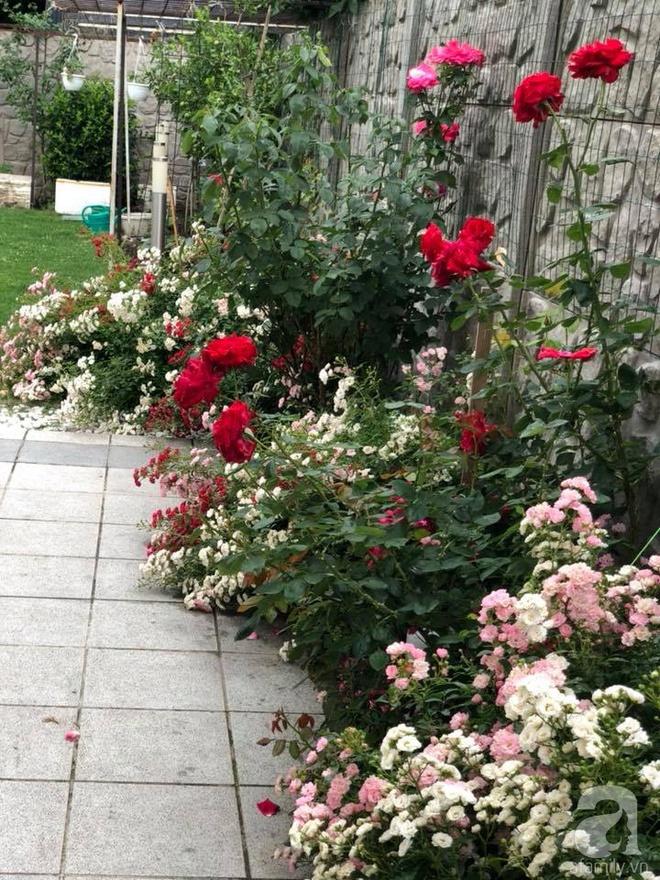 Khu vườn hoa hồng rộng 500m² với hàng trăm gốc hồng đẹp rực rỡ của người phụ nữ gốc Hà Thành - Ảnh 19.