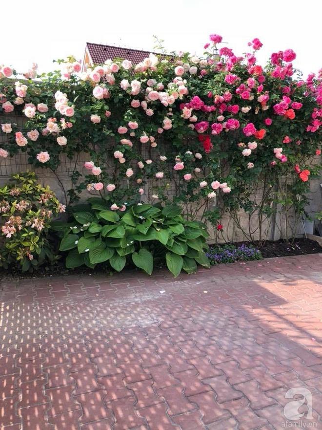 Khu vườn hoa hồng rộng 500m² với hàng trăm gốc hồng đẹp rực rỡ của người phụ nữ gốc Hà Thành - Ảnh 22.