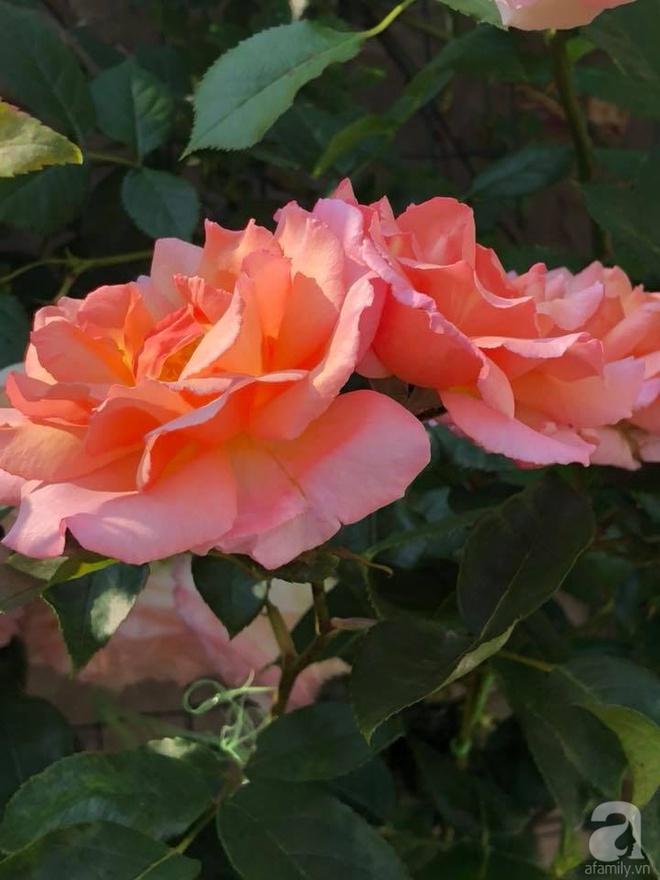 Khu vườn hoa hồng rộng 500m² với hàng trăm gốc hồng đẹp rực rỡ của người phụ nữ gốc Hà Thành - Ảnh 24.