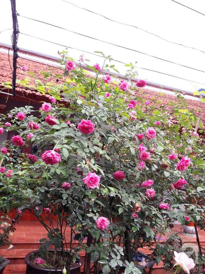 Khu vườn hoa hồng rộng hơn 1000m², rực rỡ sắc màu từ hoa nội đến hoa ngoại của cô giáo mầm non ở Hà Nội - Ảnh 2.