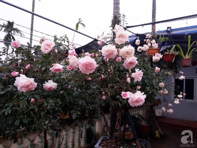 Khu vườn hoa hồng rộng hơn 1000m², rực rỡ sắc màu từ hoa nội đến hoa ngoại của cô giáo mầm non ở Hà Nội - Ảnh 3.