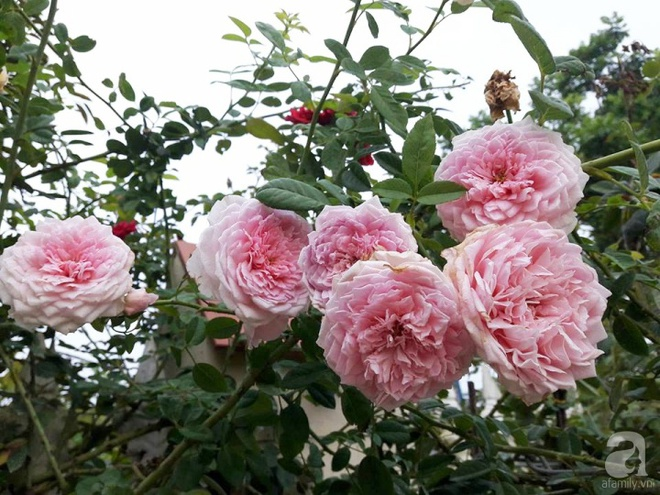 Khu vườn hoa hồng rộng hơn 1000m², rực rỡ sắc màu từ hoa nội đến hoa ngoại của cô giáo mầm non ở Hà Nội - Ảnh 4.