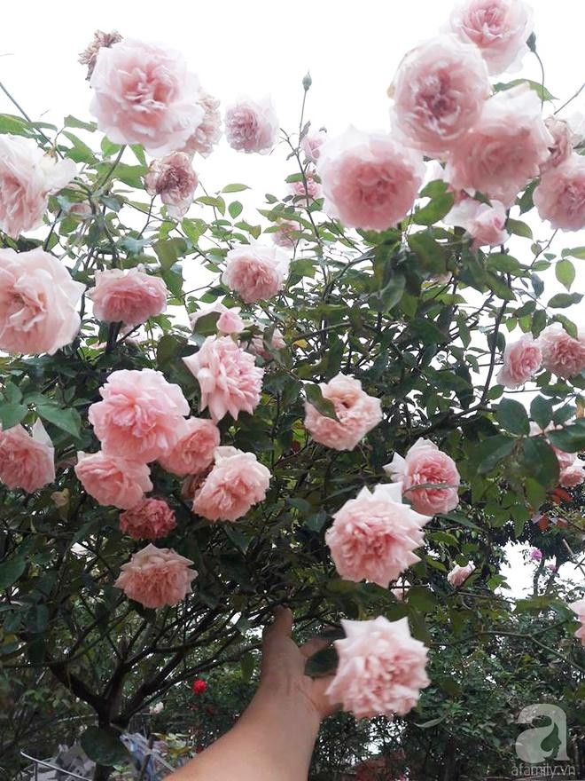 Khu vườn hoa hồng rộng hơn 1000m², rực rỡ sắc màu từ hoa nội đến hoa ngoại của cô giáo mầm non ở Hà Nội - Ảnh 5.