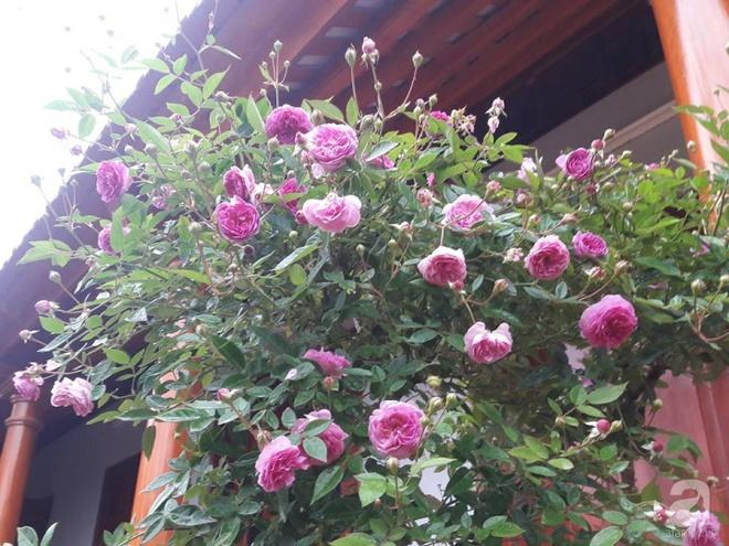 Khu vườn hoa hồng rộng hơn 1000m², rực rỡ sắc màu từ hoa nội đến hoa ngoại của cô giáo mầm non ở Hà Nội - Ảnh 6.