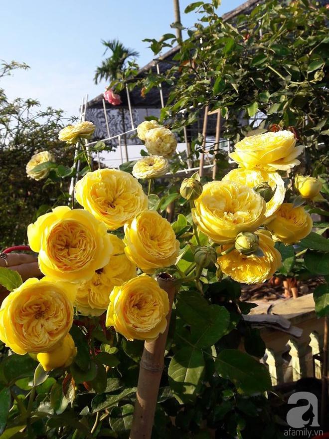 Khu vườn hoa hồng rộng hơn 1000m², rực rỡ sắc màu từ hoa nội đến hoa ngoại của cô giáo mầm non ở Hà Nội - Ảnh 7.