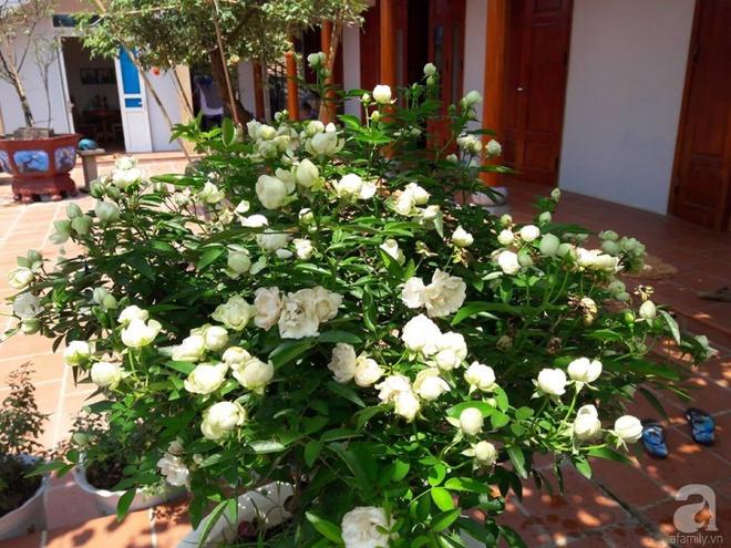 Khu vườn hoa hồng rộng hơn 1000m², rực rỡ sắc màu từ hoa nội đến hoa ngoại của cô giáo mầm non ở Hà Nội - Ảnh 8.