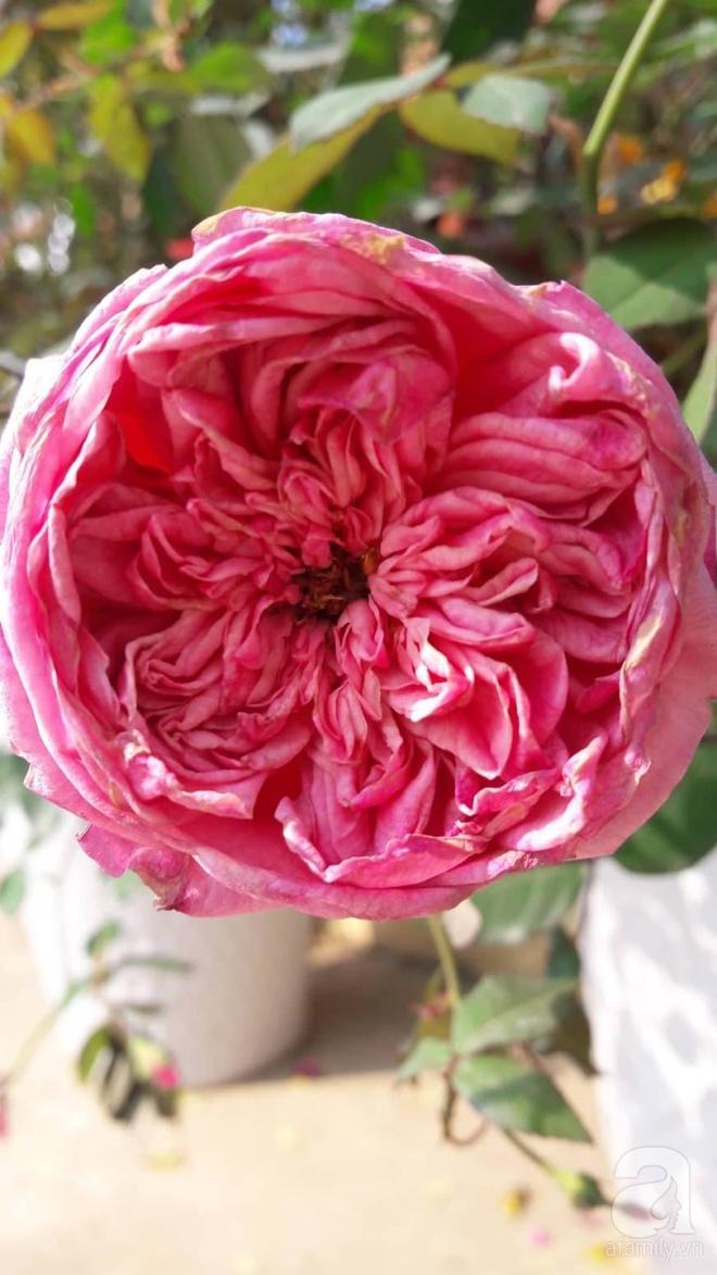 Khu vườn hoa hồng rộng hơn 1000m², rực rỡ sắc màu từ hoa nội đến hoa ngoại của cô giáo mầm non ở Hà Nội - Ảnh 12.