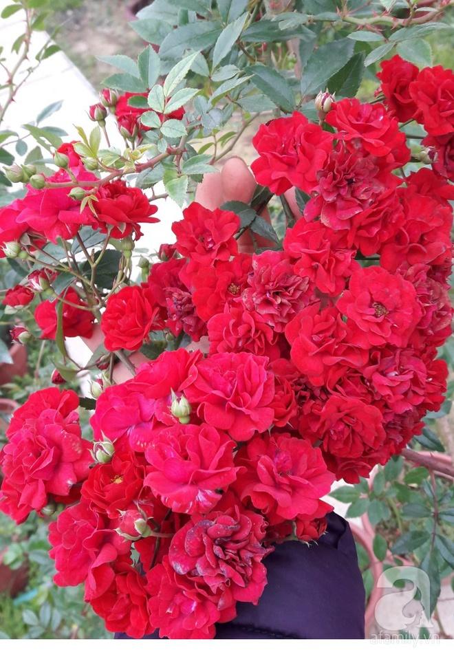 Khu vườn hoa hồng rộng hơn 1000m², rực rỡ sắc màu từ hoa nội đến hoa ngoại của cô giáo mầm non ở Hà Nội - Ảnh 13.