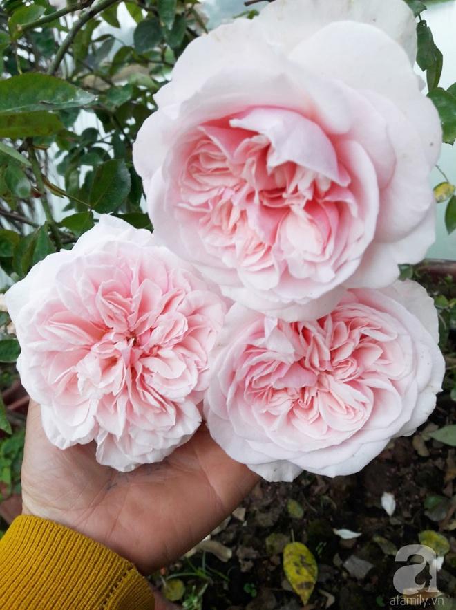Khu vườn hoa hồng rộng hơn 1000m², rực rỡ sắc màu từ hoa nội đến hoa ngoại của cô giáo mầm non ở Hà Nội - Ảnh 17.