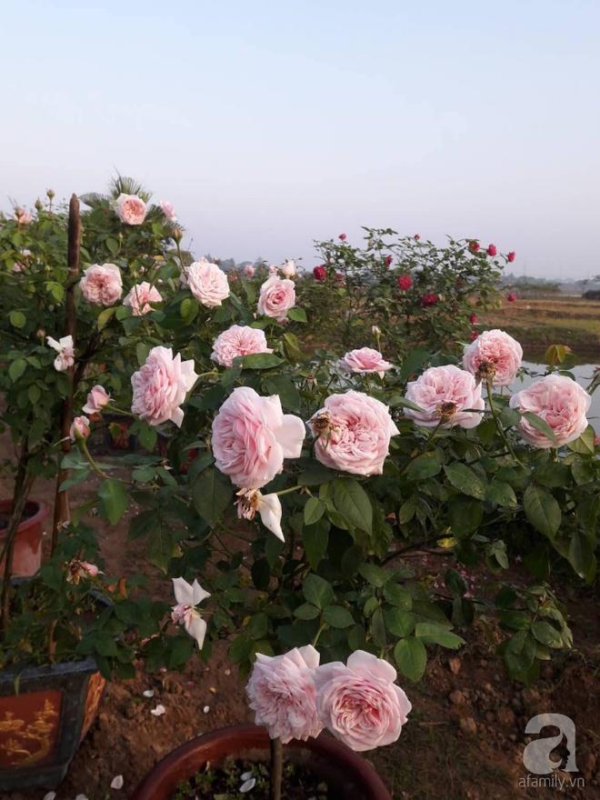 Khu vườn hoa hồng rộng hơn 1000m², rực rỡ sắc màu từ hoa nội đến hoa ngoại của cô giáo mầm non ở Hà Nội - Ảnh 18.