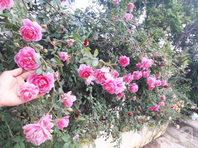 Khu vườn hoa hồng rộng hơn 1000m², rực rỡ sắc màu từ hoa nội đến hoa ngoại của cô giáo mầm non ở Hà Nội - Ảnh 19.