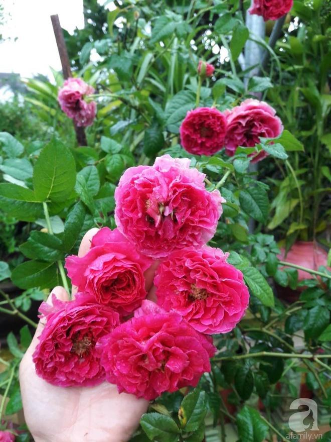 Khu vườn hoa hồng rộng hơn 1000m², rực rỡ sắc màu từ hoa nội đến hoa ngoại của cô giáo mầm non ở Hà Nội - Ảnh 20.