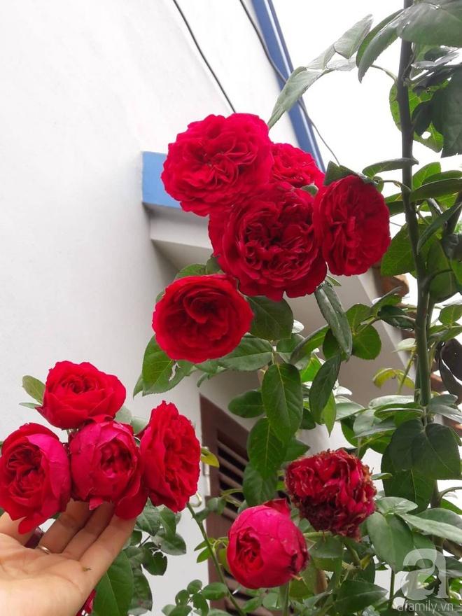 Khu vườn hoa hồng rộng hơn 1000m², rực rỡ sắc màu từ hoa nội đến hoa ngoại của cô giáo mầm non ở Hà Nội - Ảnh 22.