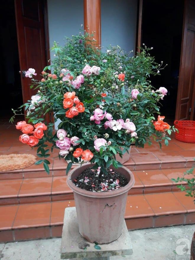Khu vườn hoa hồng rộng hơn 1000m², rực rỡ sắc màu từ hoa nội đến hoa ngoại của cô giáo mầm non ở Hà Nội - Ảnh 23.