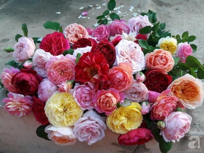 Khu vườn hoa hồng rộng hơn 1000m², rực rỡ sắc màu từ hoa nội đến hoa ngoại của cô giáo mầm non ở Hà Nội - Ảnh 24.