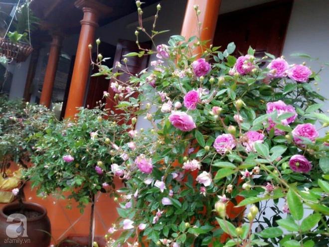Khu vườn hoa hồng rộng hơn 1000m², rực rỡ sắc màu từ hoa nội đến hoa ngoại của cô giáo mầm non ở Hà Nội - Ảnh 26.