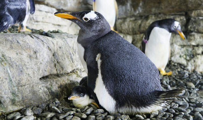 Cặp cánh cụt đồng tính nữ sướng rơn vì được nhận con nuôi - Ảnh 1.