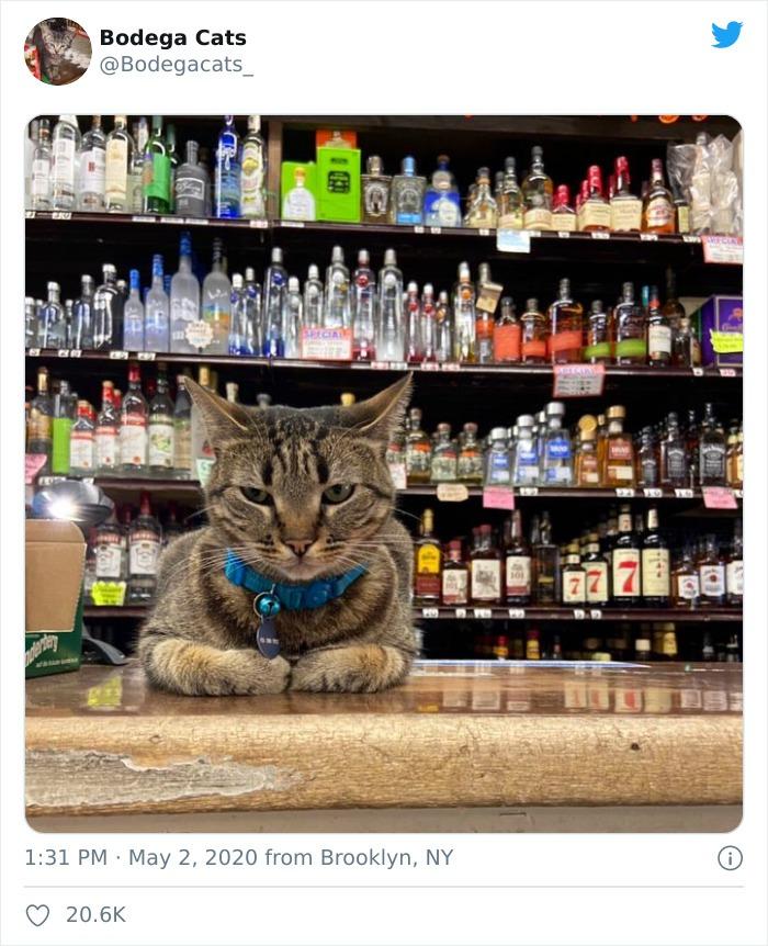 Tổng hợp bọn mèo láo lếu khệnh khạng luôn cho mình là ông chủ - Ảnh 3.