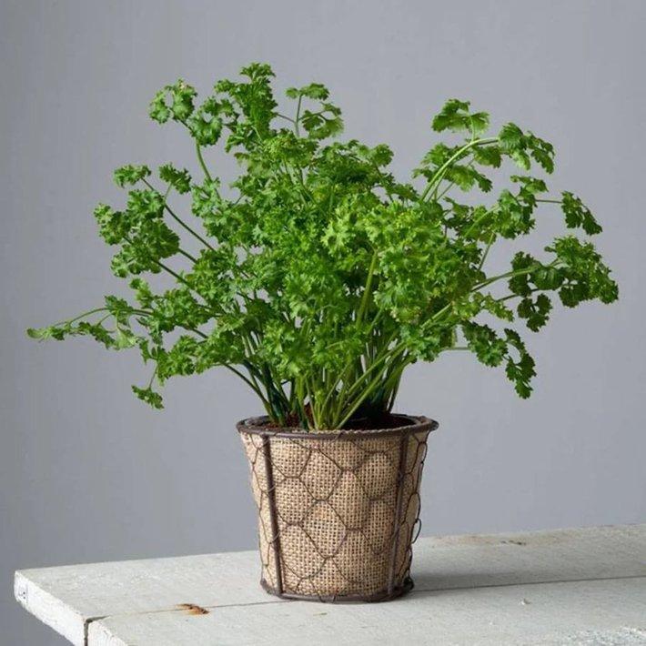 """6 loại cây gia vị chị em hội """"yêu bếp, nghiệp nhà"""" không thể bỏ qua vì để decor nhà cửa cũng đẹp mà thêm vào món ăn cũng ngon - Ảnh 12."""
