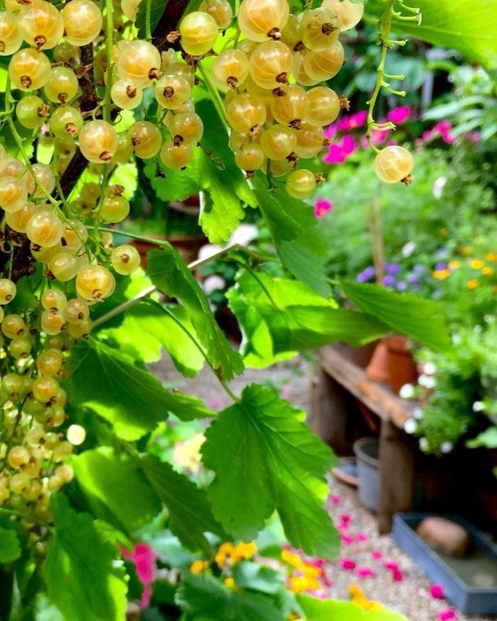Khu vườn 70m² ngập tràn các loại rau quả và đẹp như trong cổ tích - Ảnh 9.