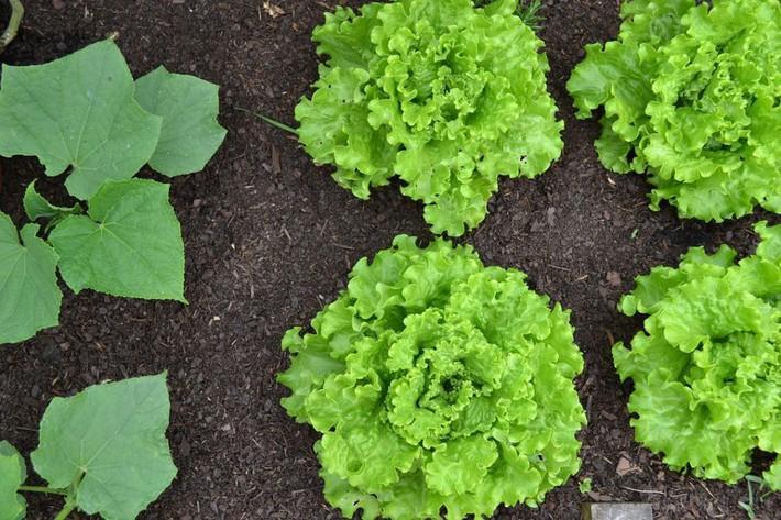 6 loại rau củ mang lại hiệu quả năng suất nhất để trồng trong khu vườn nhỏ của bạn - Ảnh 3.