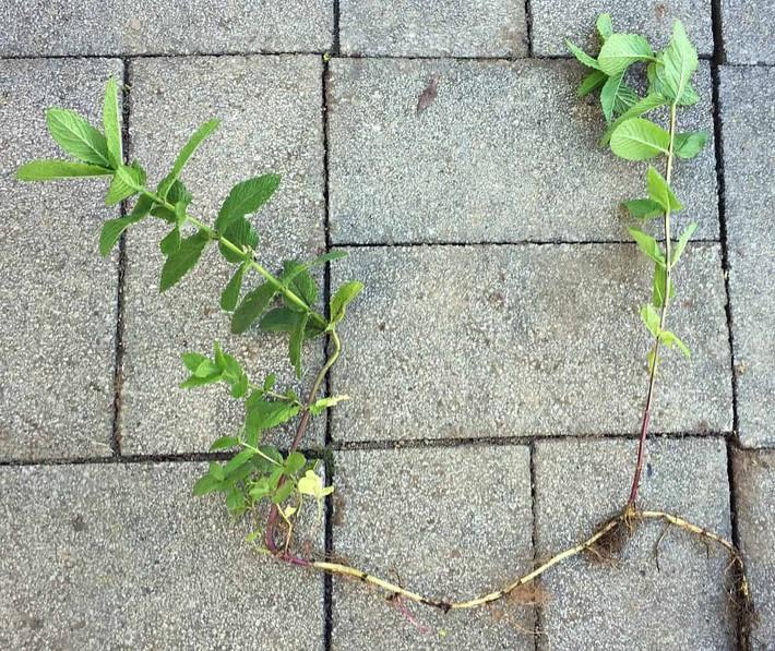 Hướng dẫn cách trồng cây bạc hà: Vừa làm duyên cho tổ ấm vừa bảo vệ sức khỏe cả nhà - Ảnh 7.