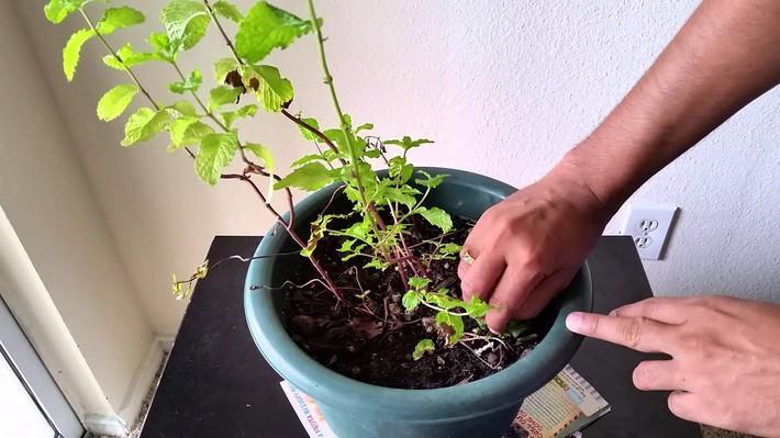 Hướng dẫn cách trồng cây bạc hà: Vừa làm duyên cho tổ ấm vừa bảo vệ sức khỏe cả nhà - Ảnh 8.
