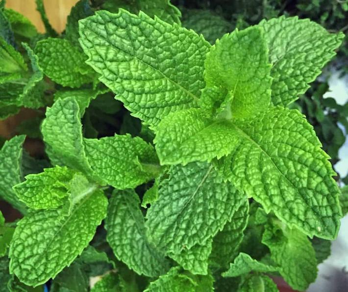 Hướng dẫn cách trồng cây bạc hà: Vừa làm duyên cho tổ ấm vừa bảo vệ sức khỏe cả nhà - Ảnh 11.